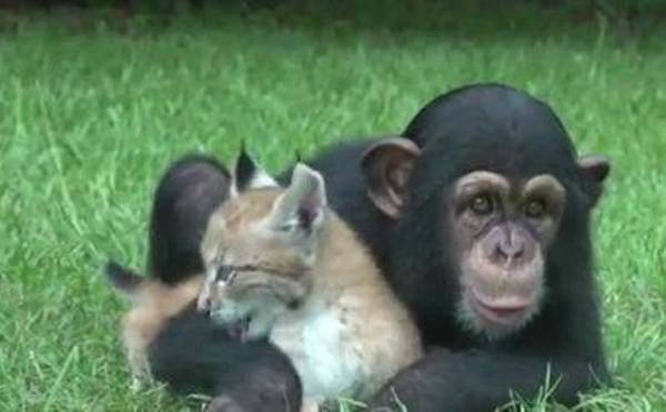 baby chimp and Siberian lynx