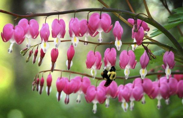 bumblebee-bleedingheart