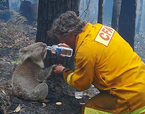 koala drinking